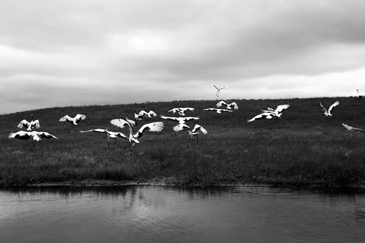 endangered Red Crowned Cranes