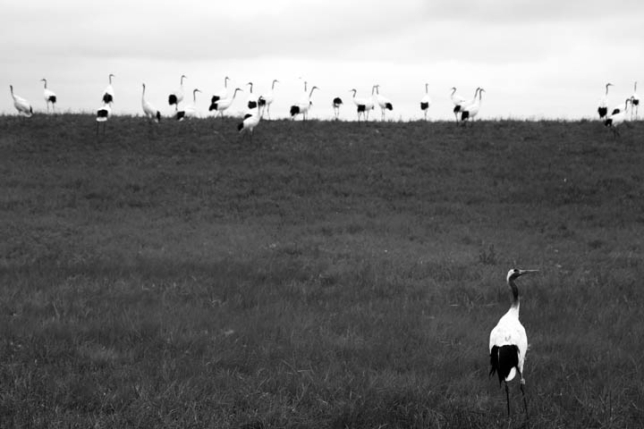 endangered Red Crowned Cranes