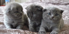 Home Breed Kittens Singapore Grey British Shorthair