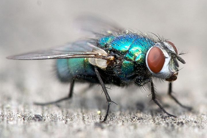 Blue buzz fly